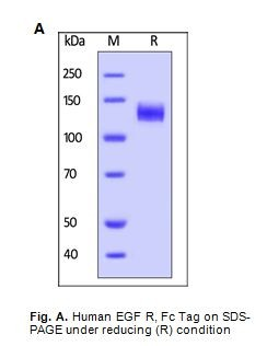 Human CellExp™ EGFR/ErbB1, Fc Tag, Human Recombinant