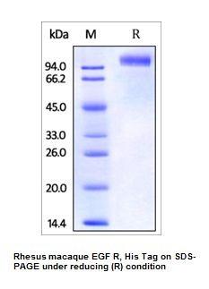 Human CellExp™ EGFR/ErbB1, Rhesus macaque Recombinant