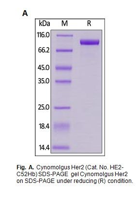 Human CellExp™ Her2 / ErbB2, Cynomolgus Recombinant