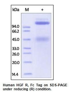 Human CellExp™ HGFR / c-MET, Fc Tag, Human Recombinant
