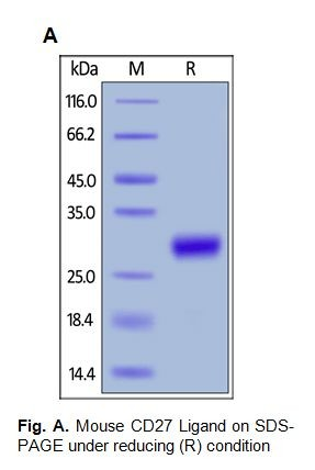 Human CellExp™ CD27 Ligand/ CD70, Fc Tag, Mouse Recombinant