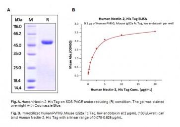 Human CellExp™ Nectin-2 / CD112, Human Recombinant