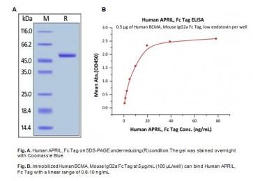 Human CellExp™ APRIL / TNFSF13, Human Recombinant