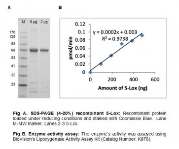 5-Lipoxygenase, Active, Human Recombinant