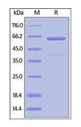 Human CellExp™ CD73 / NT5E, Human recombinant