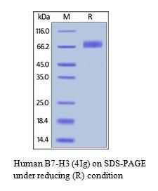Human CellExp™ B7-H3 / CD276, Human Recombinant
