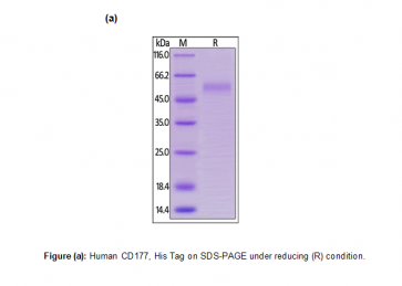 Human CellExp™ CD177, Human Recombinant