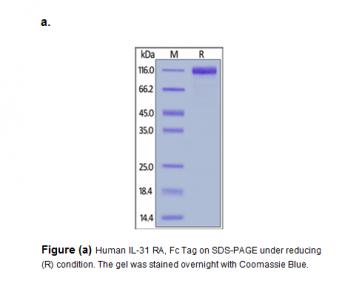 Human CellExp™ IL-31, Fc Tag, Human Recombinant