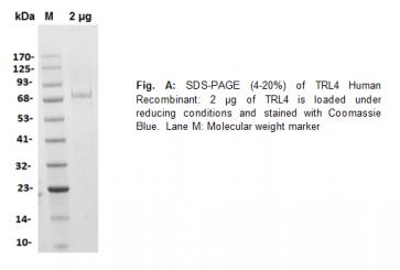 TLR4 / CD284, Human Recombinant