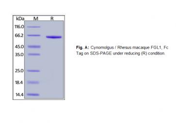 Human CellExp™ FGL1, Fc Tag, Cynomolgus / Rhesus macaque recombinant