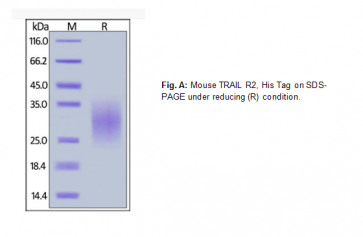 Human CellExp™ TRAIL R2 / TNFRSF10B, Mouse recombinant