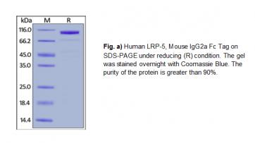 Human CellExp™LRP-5, Fc tag, Human Recombinant