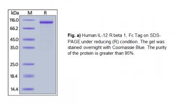 Human CellExp™ IL-12 R beta 1 / CD212, Fc Tag, Human Recombinant