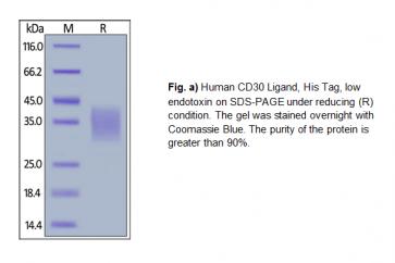 Human CellExp™ CD30 Ligand / TNFSF8, Human Recombinant