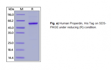 Human CellExp™ Properdin, Human Recombinant
