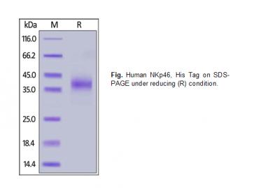 Human CellExp™ NKp46 / NCR1 / CD335, Human Recombinant