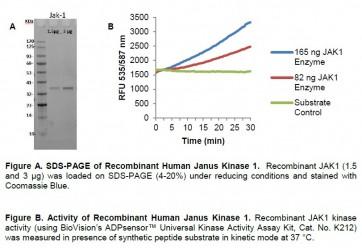 Recombinant Human Janus Kinase 1